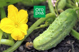 Какие огурцы не боятся мучнистой росы – сорта и гибриды, устойчивые к болезни